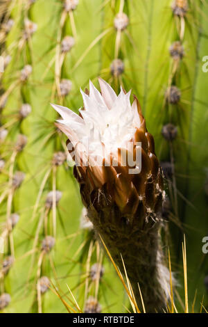 Peruvian apple cactus flower about to open on a rainy day, California - Stock Photo
