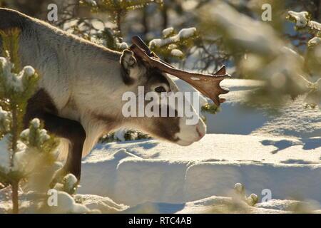 Portrait of a reindeer (Rangifer tarandus) plodding through a snowy forest on a sunny winter day. - Stock Photo