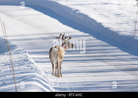 A reindeer (Rangifer tarandus) wearing an orange reflective collar is standing in the middle of a snowy country lane. - Stock Photo