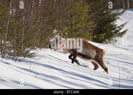 A reindeer (Rangifer tarandus) with a reflective collar is climbing a snowy slope - Stock Photo