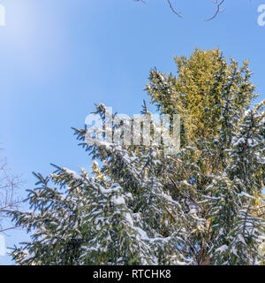 Tops of spruce trees covered with fresh snow on a clear winter day against a blue sky. Spruce forest in winter. Spruce forest under snow. Natural envi - Stock Photo