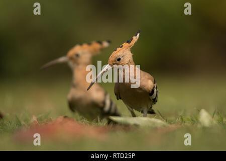 Eurasian hoopoe (Upupa epops) on the grass - Stock Photo