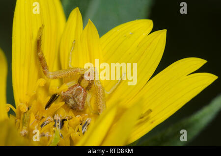 Crab Spider, Mecaphesa sp., lurking in Maximilian sunflower, Helianthus maximiliani Stock Photo