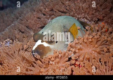 Black Spotted pufferfish, Arothron nigropunctatus, resting in a patch of soft corals. Uepi, Solomon Islands. Solomon Sea, Pacific Ocean - Stock Photo