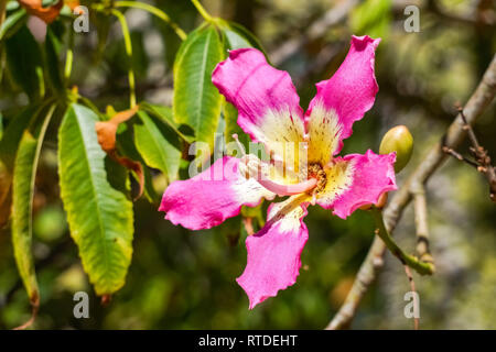 Closeup view of the flower of a Silk Floss tree (Ceiba Speciosa), California - Stock Photo