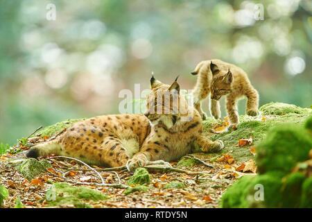 Eurasian lynx (Lynx lynx), mother animal with her young animal, captive, Bavarian Forest Nationalpark, Bavaria, Germany - Stock Photo