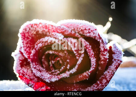 Frosted Rose - Stock Photo