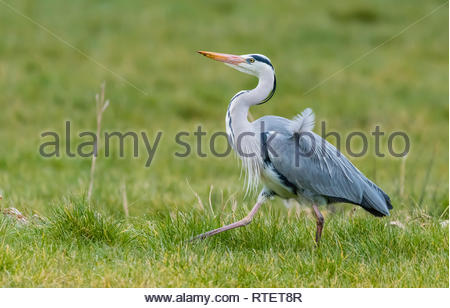 Side view of an Adult Grey Heron (Ardea cinerea), a large waterside wading bird, walking proudly in Winter in West Sussex, UK. - Stock Photo