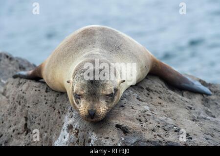 Galapagos sea lion (Zalophus wollebaeki), young animal sleeping on lava rocks, Floreana Island, Galapagos Islands, Ecuador - Stock Photo