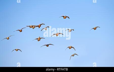 Burchell's sandgrouses (Pterocles burchelli), Bird flock in flight, Kgalagadi Transfrontier Park, South Africa - Stock Photo
