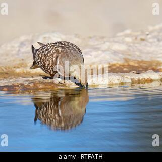 Male Namaqua sandgrouse (Pterocles namaqua) drinking at the waterhole, Kgalagadi Transfrontier Park, South Africa - Stock Photo