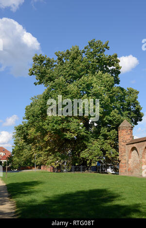Wichmannlinde, Wichmann Linden tree, Wichmann lime tree, 700 years old, town wall, Neuruppin, Brandenburg, Germany - Stock Photo