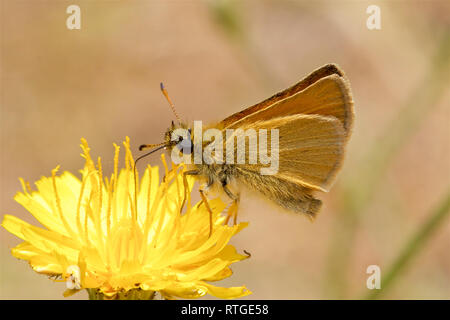 Essex Skipper Butterfly, Thymelicus lineola, feeding on a flower. - Stock Photo