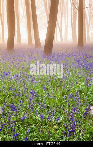 Bluebell Woods at sunrise. - Stock Photo