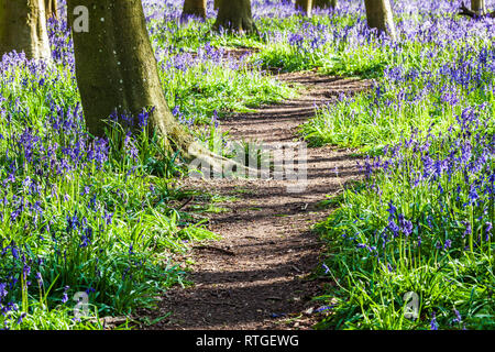Bluebell Woods in the early morning sun. - Stock Photo
