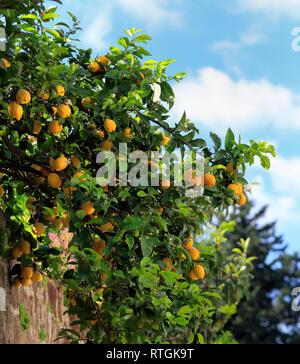 Lemon tree near abbey church, Sant Angelo in Formis, Campania, Italy - Stock Photo