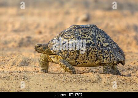 Leopard tortoise (Stigmochelys pardalis) walking on sandy underground providing camouflage in Kruger National park, South Africa - Stock Photo