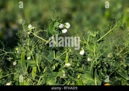 Green pea plants with growing pods. Pods of young green peas. Blooming green sugar peas in Latvia. Beautiful close up of green fresh peas in the garde - Stock Photo