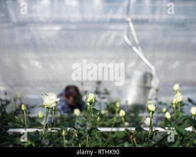 someone collects white roses in dutch greenhouse in the netherlands - Stock Photo