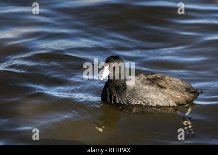 An American Coot (Fulica americana) swimming in a lake - Stock Photo