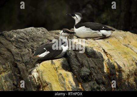 Common murre (Uria aalge), also known as the common guillemot. - Stock Photo
