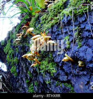 Fungi on log in Scratchwood Open Space, Barnet, UK. - Stock Photo