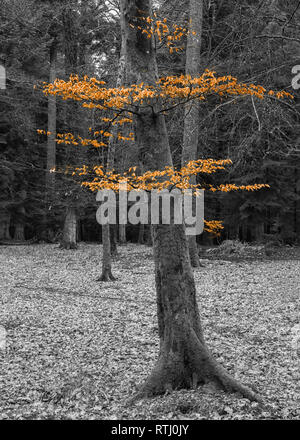 Colour popped image of a beech tree in Blackwater Woods on the Rhinefield Ornamental Drive, new Forest, Hampshire, England - Stock Photo