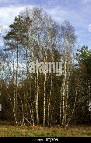 Pines and Birches in winter, Thetford Forest, - Stock Photo