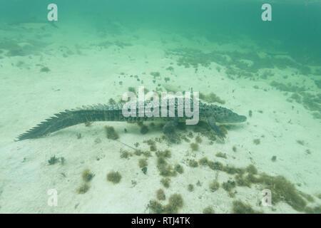 Closeup of a American crocodile (Crocodylus acutus), swimming in shoal amid sharks and other reef marine life - Stock Photo