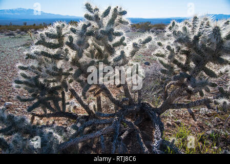 Joshua Trees in bloom and Cholla Cactus.