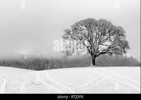 A lone white oak tree stands on an agricultural hill after a passing snow storm still visible in the background. - Stock Photo