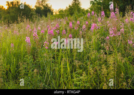 Blooming Willow herb Ivan tea fireweed Epilobium angustifolium background. is used for tea in the villages of Russia - Stock Photo