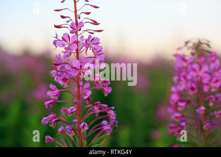 The plant Ivan-tea. kiprei, is used for tea in the villages of Russia - Stock Photo