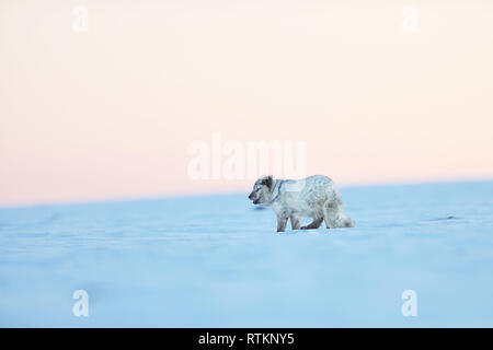 Vulpes lagopus - White polar fox - Wildlife action scene from Arctic nature - Stock Photo