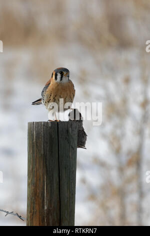 An American kestrel holds his next meal of a mouse from atop a post - Stock Photo