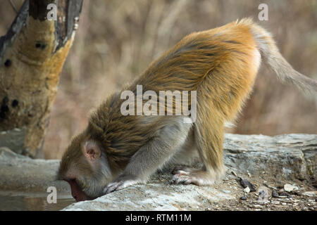 Rhesus Macaque (Macaca mulatta). Leaning forward on all fours, four feet, in order to drink water from a pool. Northern India. - Stock Photo
