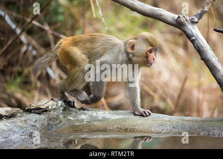 Young Rhesus Macaque (Macaca mulatta). Walking on all four limbs. Plantigrade. Front and rear legs alternating in turn whilst walking. Quadrupedal locomotion. - Stock Photo