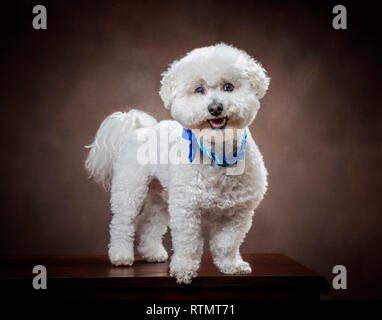 Horizontal shot of a white fluffy Bichon Frise dog with a brown background. - Stock Photo