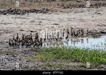 Flock of Plumed Whistling Ducks at the water's edge at Fogg Dam, Northern Territory, Australia - Stock Photo