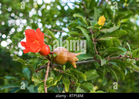 Flowers and young pomegranates on a green branch of the pomegranate tree in spring - Stock Photo