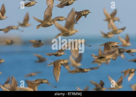 A flock of Common starling (Sturnus vulgaris) - Stock Photo