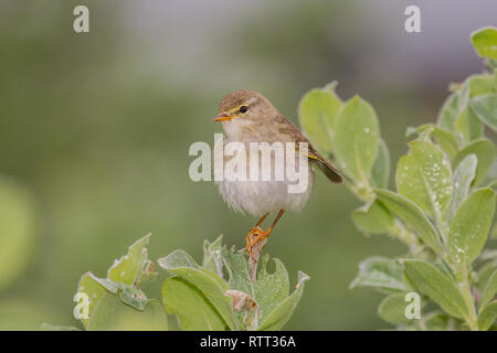 A willow warbler (Phylloscopus trochilus) - Stock Photo