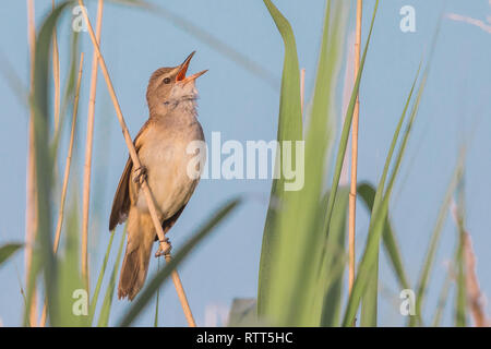 A male great reed warbler (Acrocephalus arundinaceus) singing in the red bed - Stock Photo