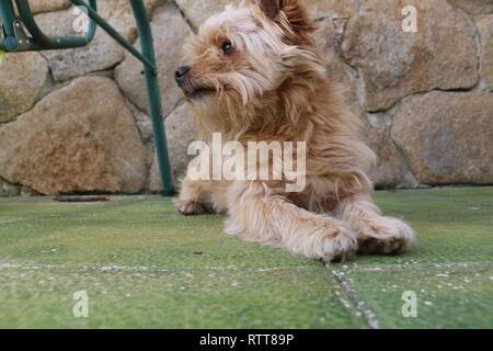 Puppy yorkshire and poodle breed very curious and intelligent, always ready to play taken at daylight with a granite wall in background - Stock Photo