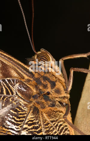 Yellow-edged Giant Owl Butterfly (Caligo atreus) close-up of head and eyes, Turrialba, Costa Rica, October - Stock Photo