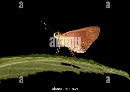Rainforest Faceted Skipper Butterfly (Synapte silius) adult resting on leaf, Soberania National Park, Panama, October - Stock Photo