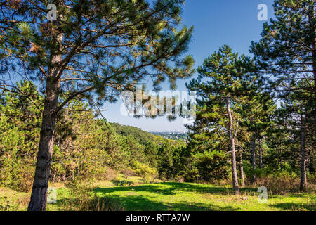 Black Pine or Austrian Pine in Vienna Woods - Stock Photo