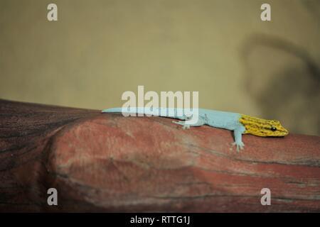 Yellow-headed Dwarf Gecko (Lygodactylus luteopicturatus) Shimba Hills, Kenya - Stock Photo