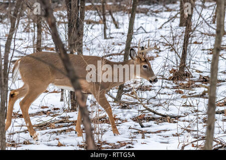 White tailed deer (Odocoileus virginianus) buck with antlers in the winter. - Stock Photo