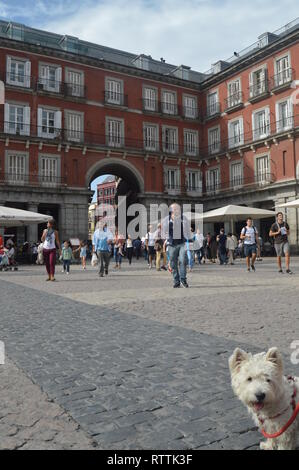 West Highland White Terrier Enjoying A Beautiful Autumn Day On The Main Square Dating In The Sixteenth Century Of Madrid. Architecture, History, Trave - Stock Photo